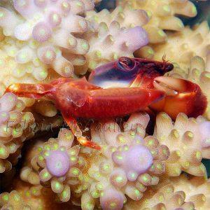 Trapezia cymodoce, Foto (C) Felicia McCaulley